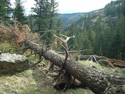Elk trapped under fallen tree.