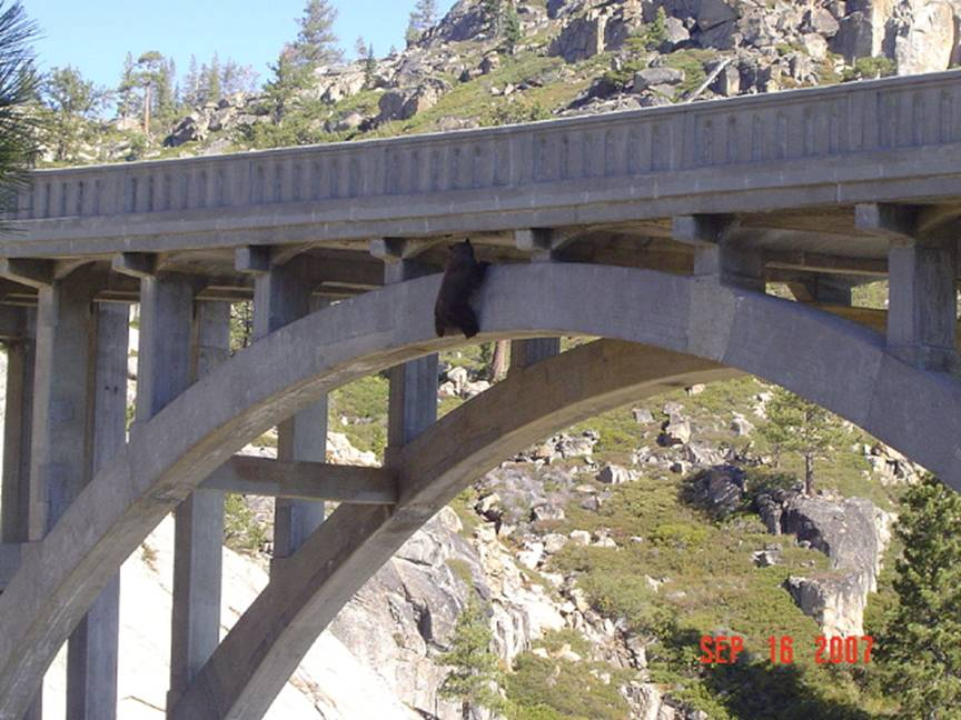 Bear Saved From Old Donner Pass Highway Bridge