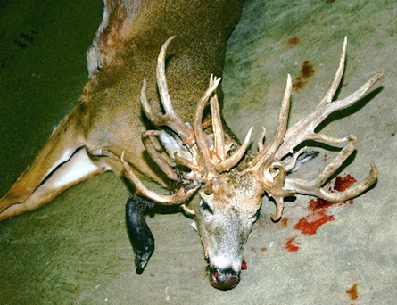 Antlered Doe- With 30 points and a Drop Tine