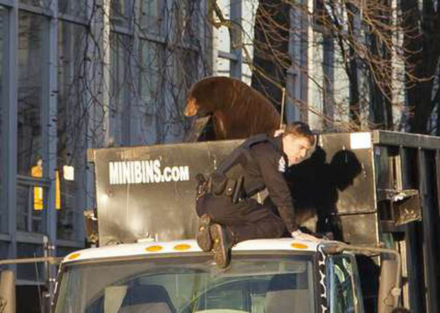 Bear on top of Trash Truck