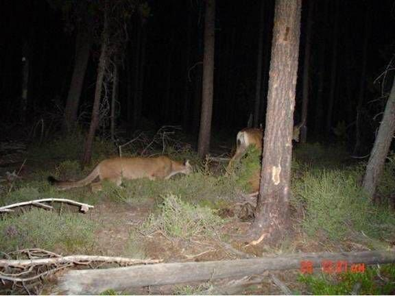 Mountain Lion Stalking Deer