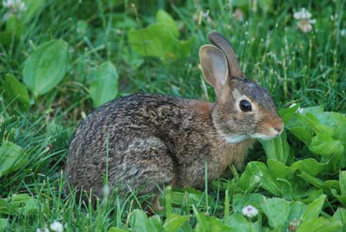 rabbit hunting, trapping, hare hunting