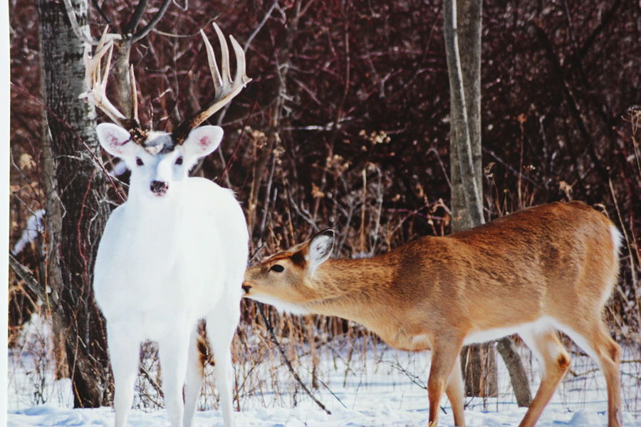 The White Deer of Seneca Army Depot!